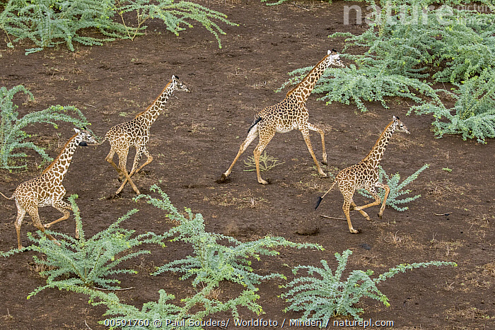 Northern Giraffe (Giraffa camelopardalis) group running, Shompole Conservancy, Kenya, Adult, Aerial View, Color Image, Day, Four Animals, Full Length, Giraffa camelopardalis, Horizontal, Kenya, Nobody, Northern Giraffe, Outdoors, Photography, Running, Shompole Conservancy, Side View, Wildlife, Paul Souders/ Worldfoto