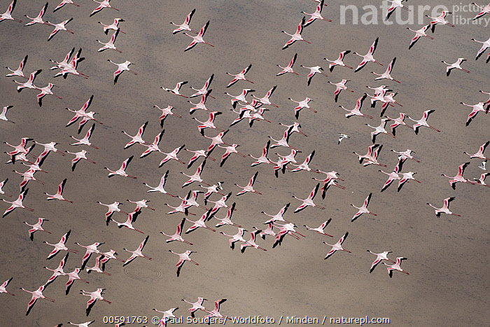 Greater Flamingo (Phoenicopterus ruber) and Lesser Flamingo (Phoenicopterus minor) flock flying, Lake Natron, Tanzania  ,  Adult, Aerial View, Color Image, Day, Flock, Flying, Full Length, Greater Flamingo, Horizontal, Lake Natron, Large Group of Animals, Lesser Flamingo, Mixed, Nobody, Outdoors, Phoenicopterus minor, Phoenicopterus ruber, Photography, Tanzania, Top View, Wildlife  ,  Paul Souders/ Worldfoto