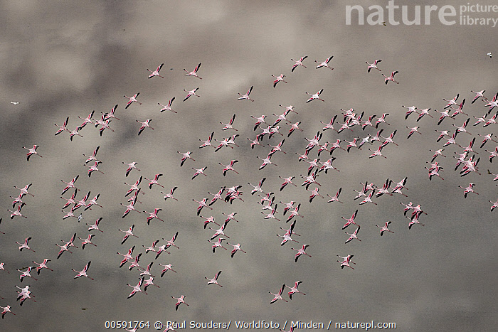 Greater Flamingo (Phoenicopterus ruber) and Lesser Flamingo (Phoenicopterus minor) flock flying, Lake Natron, Tanzania, Adult, Aerial View, Color Image, Day, Flock, Flying, Full Length, Greater Flamingo, Horizontal, Lake Natron, Large Group of Animals, Lesser Flamingo, Mixed, Nobody, Outdoors, Phoenicopterus minor, Phoenicopterus ruber, Photography, Tanzania, Top View, Wildlife, Paul Souders/ Worldfoto
