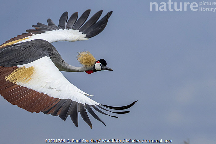 Grey Crowned Crane (Balearica regulorum) flying, Ngorongoro Conservation Area, Tanzania  ,  Adult, Balearica regulorum, Color Image, Day, Flying, Grey Crowned Crane, Horizontal, Ngorongoro Conservation Area, Nobody, One Animal, Outdoors, Photography, Side View, Tanzania, Threatened Species, Vulnerable Species, Waist Up, Wildlife  ,  Paul Souders/ Worldfoto