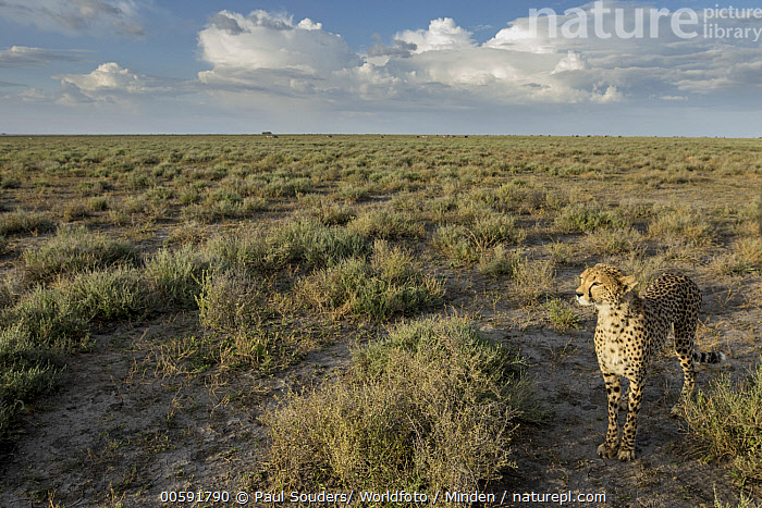 Cheetah (Acinonyx jubatus) in savanna, Ngorongoro Conservation Area, Tanzania  ,  Acinonyx jubatus, Adult, Animal in Habitat, Cheetah, Color Image, Day, Full Length, High Angle View, Horizon, Horizontal, Ngorongoro Conservation Area, Nobody, One Animal, Outdoors, Photography, Savanna, Side View, Tanzania, Threatened Species, Vulnerable Species, Wildlife  ,  Paul Souders/ Worldfoto