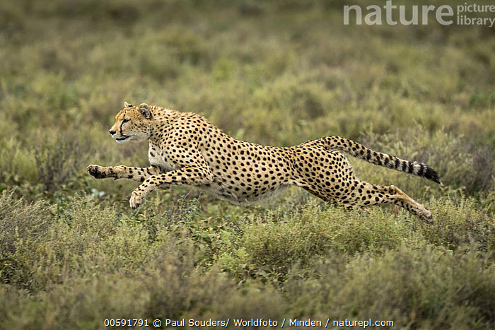 Cheetah (Acinonyx jubatus) running, Ngorongoro Conservation Area, Tanzania  ,  Acinonyx jubatus, Adult, Cheetah, Color Image, Day, Full Length, Horizontal, Ngorongoro Conservation Area, Nobody, One Animal, Outdoors, Photography, Running, Side View, Tanzania, Threatened Species, Vulnerable Species, Wildlife  ,  Paul Souders/ Worldfoto