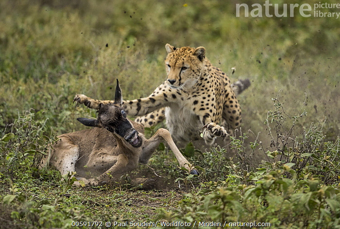Cheetah (Acinonyx jubatus) predating Blue Wildebeest (Connochaetes taurinus) calf, Masai Mara, Kenya  ,  Acinonyx jubatus, Adult, Attacking, Baby, Blue Wildebeest, Calf, Cheetah, Color Image, Connochaetes taurinus, Day, Front View, Full Length, Horizontal, Kenya, Masai Mara, Nobody, Outdoors, Photography, Predating, Predator, Prey, Side View, Threatened Species, Two Animals, Vulnerable Species, Wildlife  ,  Paul Souders/ Worldfoto