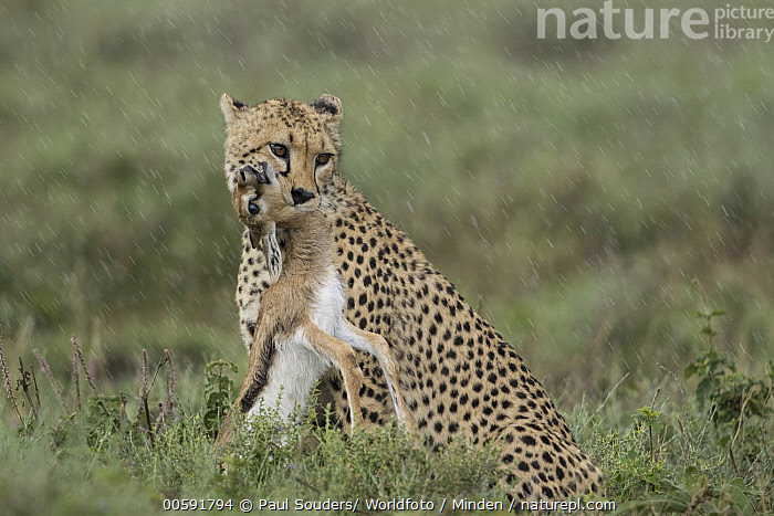 Cheetah (Acinonyx jubatus) with Thomson's Gazelle (Eudorcas thomsoniI) young prey during rainfall, Ngorongoro Conservation Area, Tanzania  ,  Acinonyx jubatus, Adult, Baby, Carrying, Cheetah, Color Image, Day, Eudorcas thomsonii, Full Length, Horizontal, Killing, Ngorongoro Conservation Area, Nobody, Outdoors, Photography, Predator, Prey, Rainfall, Side View, Suffocating, Tanzania, Thomson's Gazelle, Threatened Species, Two Animals, Vulnerable Species, Wildlife, Young  ,  Paul Souders/ Worldfoto