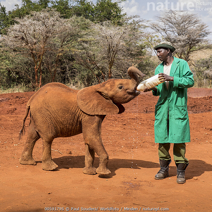 African Elephant (Loxodonta africana) orphaned calf bottle feeding, David Sheldrick Wildlife Trust, Nairobi, Kenya, Adult, African Descent, African Elephant, Baby, Bottle, Calf, Caretaker, Color Image, Day, David Sheldrick Wildlife Trust, Feeding, Front View, Full Length, Kenya, Loxodonta africana, Male, Man, Nairobi, One Animal, One Person, Orphan, Outdoors, Photography, Side View, Square, Threatened Species, Vulnerable Species, Wildlife, Paul Souders/ Worldfoto
