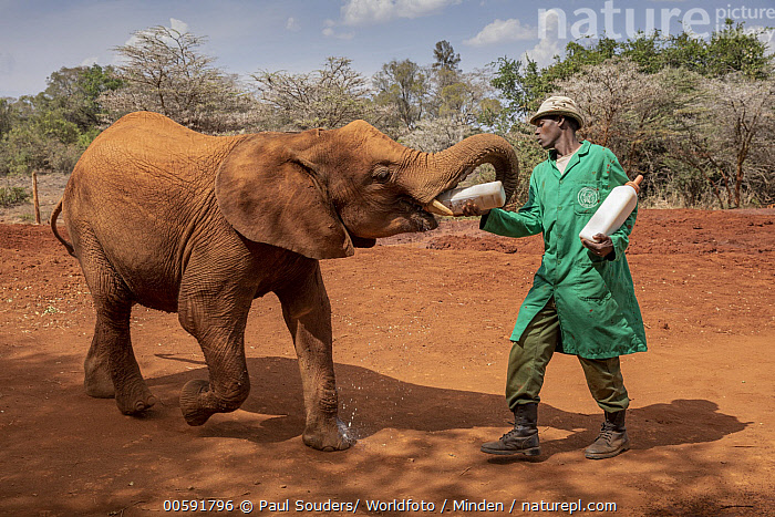 African Elephant (Loxodonta africana) orphaned calf bottle feeding, David Sheldrick Wildlife Trust, Nairobi, Kenya  ,  Adult, African Descent, African Elephant, Baby, Bottle, Calf, Caretaker, Color Image, Day, David Sheldrick Wildlife Trust, Feeding, Front View, Full Length, Horizontal, Kenya, Loxodonta africana, Male, Man, Nairobi, One Animal, One Person, Orphan, Outdoors, Photography, Side View, Square, Threatened Species, Vulnerable Species, Wildlife  ,  Paul Souders/ Worldfoto