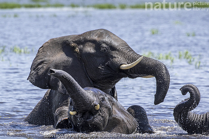 African Elephant (Loxodonta africana) group playing in water, Chobe River, Chobe National Park, Botswana  ,  Adult, African Elephant, Bathing, Botswana, Chobe National Park, Chobe River, Color Image, Day, Front View, Head and Shoulders, Horizontal, Loxodonta africana, Nobody, Outdoors, Photography, Playing, Side View, Threatened Species, Three Animals, Vulnerable Species, Waist Up, Water, Wildlife  ,  Paul Souders/ Worldfoto