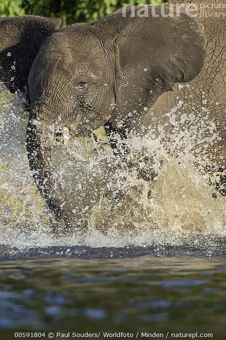 African Elephant (Loxodonta africana) calf playing in water, Chobe River, Chobe National Park, Botswana  ,  Adult, African Elephant, Baby, Botswana, Calf, Chobe National Park, Chobe River, Color Image, Day, Loxodonta africana, Nobody, One Animal, Outdoors, Photography, Playing, Portrait, Side View, Splashing, Threatened Species, Vertical, Vulnerable Species, Waist Up, Water, Wildlife  ,  Paul Souders/ Worldfoto