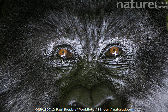 Mountain Gorilla (Gorilla gorilla beringei) silverback, Parc National des Volcans, Rwanda, Adult, Color Image, Critically Endangered Species, Day, Detail, Endangered Species, Eye, Face, Front View, Full Frame, Gorilla gorilla beringei, Head, Horizontal, Looking at Camera, Male, Mountain Gorilla, Nobody, One Animal, Outdoors, Parc National des Volcans, Photography, Portrait, Rwanda, Silverback, Wildlife, Paul Souders/ Worldfoto