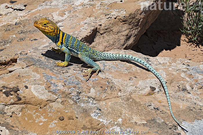 Collared Lizard (Crotaphytus collaris) male basking, Arches National Park, Utah  ,  Adult, Arches National Park, Basking, Color Image, Collared Lizard, Crotaphytus collaris, Day, Full Length, Horizontal, Male, Nobody, One Animal, Outdoors, Photography, Side View, Utah, Wildlife  ,  Jeff Foott