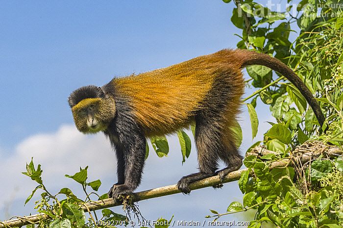 Golden Monkey (Cercopithecus kandti), Parc National des Volcans, Rwanda  ,  Adult, Arboreal, Cercopithecus kandti, Color Image, Day, Full Length, Golden Monkey, Horizontal, Looking at Camera, Nobody, One Animal, Outdoors, Parc National des Volcans, Photography, Rwanda, Side View, Wildlife  ,  Jeff Foott