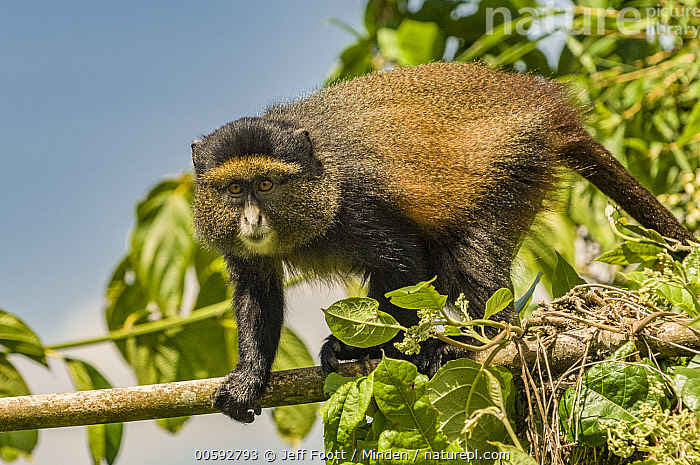 Golden Monkey (Cercopithecus kandti), Parc National des Volcans, Rwanda, Adult, Arboreal, Cercopithecus kandti, Color Image, Day, Golden Monkey, Horizontal, Looking at Camera, Nobody, One Animal, Outdoors, Parc National des Volcans, Photography, Rwanda, Side View, Three Quarter Length, Wildlife, Jeff Foott