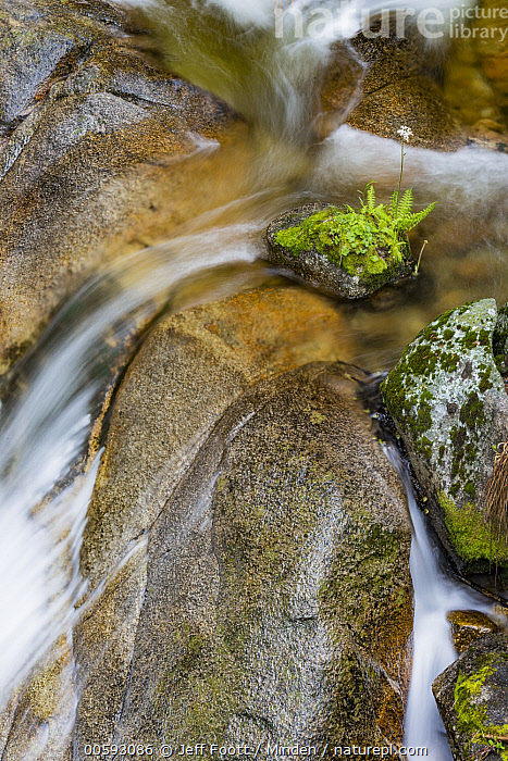 Indian Rhubarb (Darmera peltata) growing on rock in river, Cascade Creek, Yosemite National Park, California, California, Cascade Creek, Color Image, Darmera peltata, Day, Indian Rhubarb, Landscape, Long Exposure, Nobody, Outdoors, Photography, Time Exposure, Vertical, Yosemite National Park, Jeff Foott