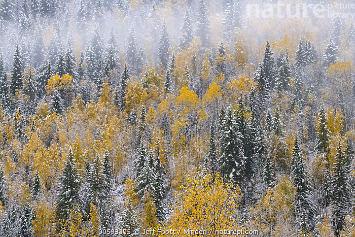 Mixed coniferous and deciduous forest after snowfall in autumn, Wells Gray Provincial Park, British Columbia, Canada, Autumn, British Columbia, Canopy, Canada, Color Image, Coniferous Forest, Day, Deciduous Forest, Fall Colors, Horizontal, Landscape, Mist, Nobody, Outdoors, Photography, Snow-covered, Tree, Wells Gray Provincial Park, Yellow, Jeff Foott