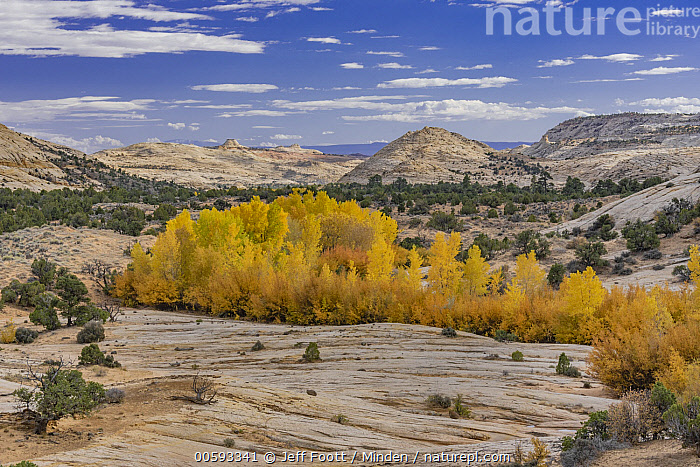 Cottonwood (Populus sp) trees in autumn, Grand Staircase-Escalante National Monument, Utah  ,  Autumn, Blue Sky, Color Image, Cottonwood, Day, Fall Colors, Grand Staircase-Escalante National Monument, Horizontal, Landscape, Nobody, Outdoors, Photography, Populus sp, Tree, Utah, Yellow  ,  Jeff Foott