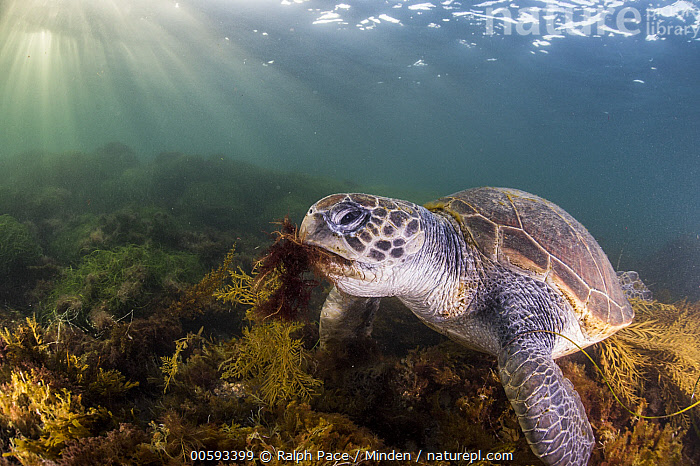 Green Sea Turtle (Chelonia mydas) feeding on seaweed, San Diego, California, Adult, California, Chelonia mydas, Color Image, Day, Endangered Species, Feeding, Green Sea Turtle, Horizontal, Nobody, One Animal, Outdoors, Photography, San Diego, Seaweed, Side View, Sunray, Three Quarter Length, Underwater, Wildlife, Ralph Pace