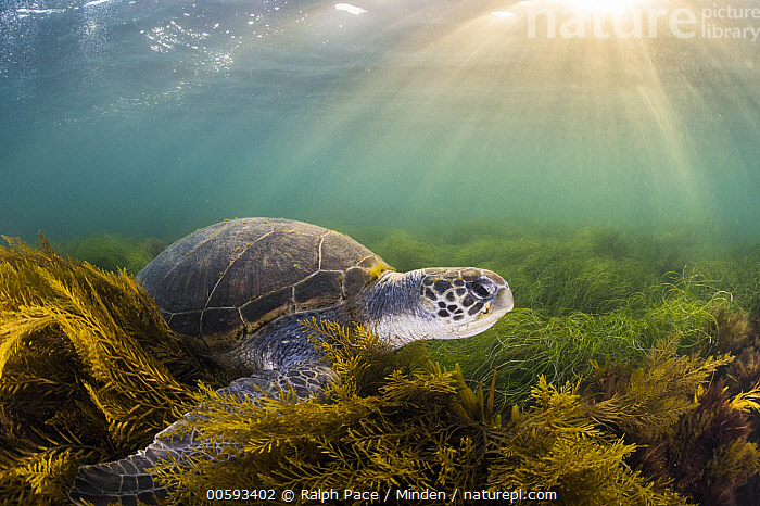 Green Sea Turtle (Chelonia mydas), San Diego, California, Adult, California, Chelonia mydas, Color Image, Day, Endangered Species, Full Length, Green Sea Turtle, Horizontal, Nobody, One Animal, Outdoors, Photography, San Diego, Side View, Sunray, Underwater, Wildlife, Ralph Pace