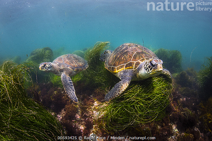 Green Sea Turtle (Chelonia mydas) pair, San Diego, California, Adult, California, Chelonia mydas, Color Image, Day, Endangered Species, Full Length, Green Sea Turtle, Horizontal, Nobody, Outdoors, Photography, San Diego, Side View, Two Animals, Underwater, Wildlife, Ralph Pace