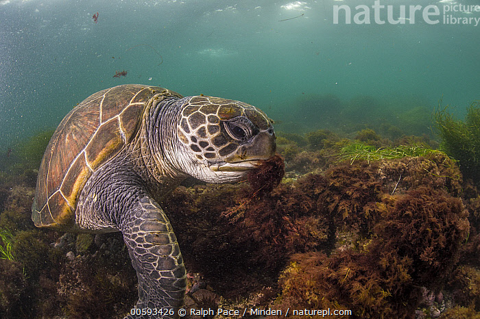 Green Sea Turtle (Chelonia mydas) feeding on seaweed, San Diego, California, Adult, California, Chelonia mydas, Color Image, Day, Endangered Species, Feeding, Green Sea Turtle, Horizontal, Nobody, One Animal, Outdoors, Photography, San Diego, Seaweed, Side View, Three Quarter Length, Underwater, Wildlife, Ralph Pace