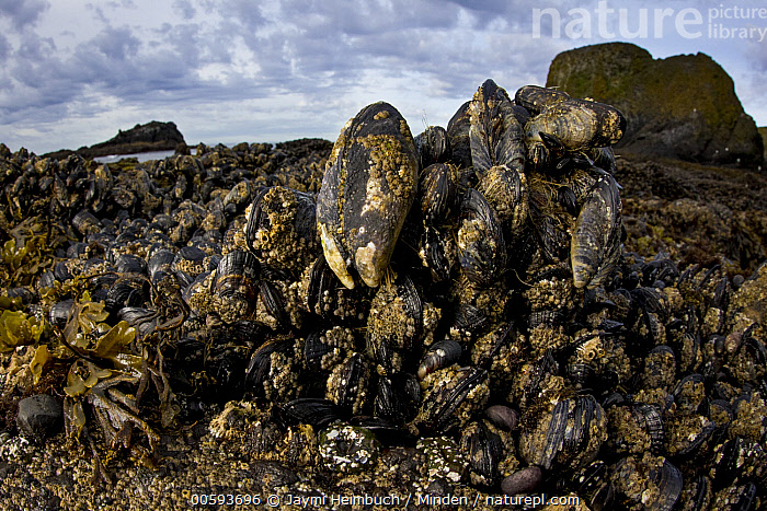 California Mussel (Mytilus californianus) group, Yaquina Head Outstanding Natural Area, Newport, Oregon, Adult, California Mussel, Color Image, Day, Full Length, Horizontal, Intertidal, Large Group of Animals, Mytilus californianus, Newport, Nobody, Oregon, Outdoors, Photography, Side View, Wildlife, Yaquina Head Outstanding Natural Area, Jaymi Heimbuch