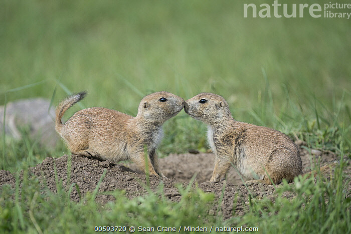 Black-tailed Prairie Dog (Cynomys ludovicianus) pair greeting, Wind Cave National Park, South Dakota  ,  Adult, Affection, Black-tailed Prairie Dog, Bonding, Color Image, Cynomys ludovicianus, Day, Facing, Full Length, Greeting, Horizontal, Kissing, Nobody, Outdoors, Photography, Side View, South Dakota, Tenderness, Touching, Two Animals, Wildlife, Wind Cave National Park  ,  Sean Crane