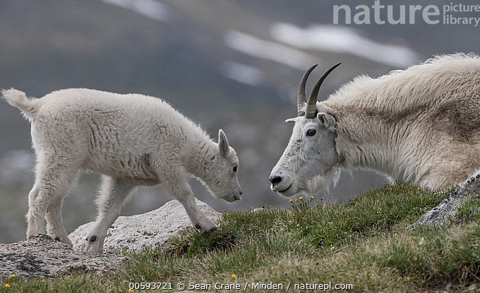Mountain Goat (Oreamnos americanus) mother and kit, Mount Evans, Colorado  ,  Adult, Affection, Baby, Color Image, Colorado, Day, Facing, Female, Full Length, Head and Shoulders, Horizontal, Kid, Kit, Mother, Mountain Goat, Mount Evans, Nobody, Oreamnos americanus, Outdoors, Parent, Photography, Side View, Two Animals, Wildlife  ,  Sean Crane