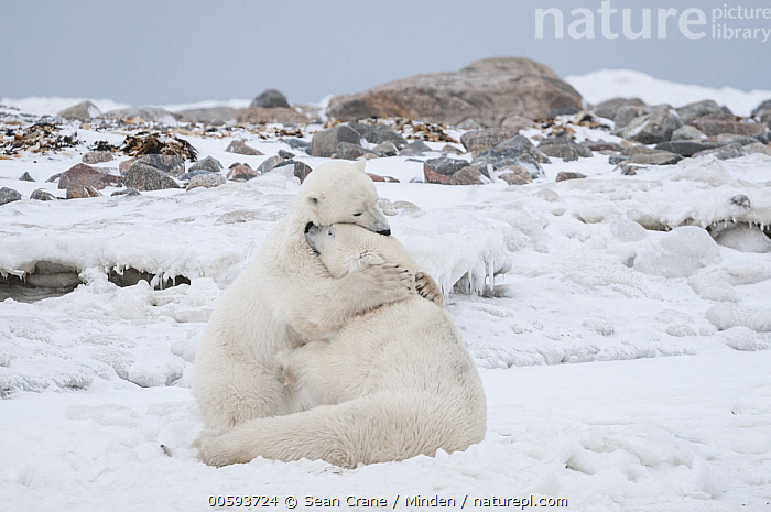 Polar Bear (Ursus maritimus) pair playing, Seal River, Manitoba, Canada  ,  Adult, Canada, Color Image, Cute, Day, Full Length, Horizontal, Hugging, Interacting, Manitoba, Nobody, Outdoors, Photography, Playing, Polar Bear, Seal River, Side View, Threatened Species, Two Animals, Ursus maritimus, Vulnerable Species, Wildlife  ,  Sean Crane