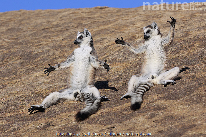 Ring-tailed Lemur (Lemur catta) pair basking, Anja Park, Madagascar, Adult, Anja Park, Basking, Color Image, Day, Full Length, Funny, Horizontal, Humor, Lemur catta, Madagascar, Nobody, Outdoors, Photography, Ring-tailed Lemur, Side View, Sunbathing, Two Animals, Wildlife, Cyril Ruoso