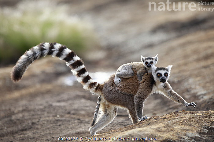 Ring-tailed Lemur (Lemur catta) mother and young, Anja Park, Madagascar, Adult, Anja Park, Baby, Color Image, Day, Female, Full Length, Horizontal, Lemur catta, Looking at Camera, Madagascar, Mother, Nobody, Outdoors, Parent, Photography, Ring-tailed Lemur, Side View, Two Animals, Wildlife, Young, Cyril Ruoso