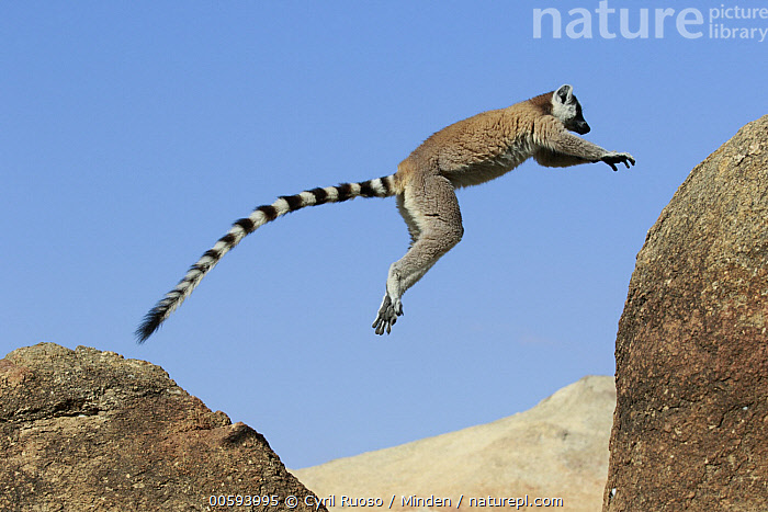 Ring-tailed Lemur (Lemur catta) jumping, Anja Park, Madagascar, Adult, Anja Park, Color Image, Day, Full Length, Horizontal, Jumping, Lemur catta, Madagascar, Nobody, One Animal, Outdoors, Photography, Ring-tailed Lemur, Side View, Wildlife, Cyril Ruoso