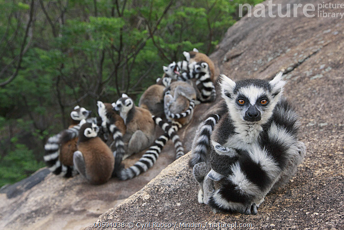 Ring-tailed Lemur (Lemur catta) group huddling for warmth, Anja Park, Madagascar, Adult, Anja Park, Color Image, Cute, Day, Front View, Full Length, Horizontal, Huddling, Lemur catta, Looking at Camera, Madagascar, Medium Group of Animals, Nobody, Outdoors, Photography, Rear View, Ring-tailed Lemur, Side View, Wildlife, Cyril Ruoso