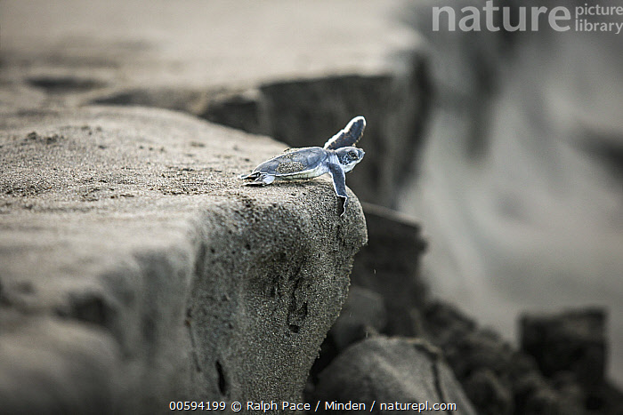 Green Sea Turtle (Chelonia mydas) hatchling on beach, Tortuguero National Park, Costa Rica, Adversity, Baby, Chelonia mydas, Color Image, Costa Rica, Danger, Day, Edge, Endangered Species, Full Length, Green Sea Turtle, Hatchling, Horizontal, Nobody, One Animal, Outdoors, Photography, Risk, Side View, Tortuguero National Park, Wildlife, Ralph Pace