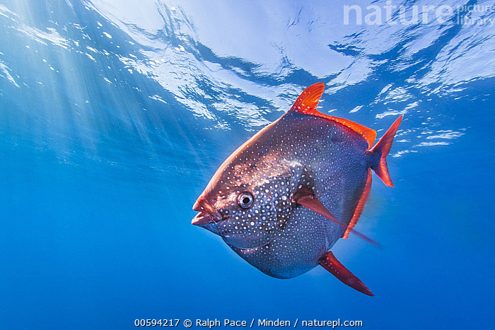 Opah (Lampris guttatus), San Diego, California, Adult, California, Color Image, Day, Full Length, Horizontal, Lampris guttatus, Nobody, One Animal, Opah, Outdoors, Photography, San Diego, Side View, Underwater, Wildlife, Ralph Pace