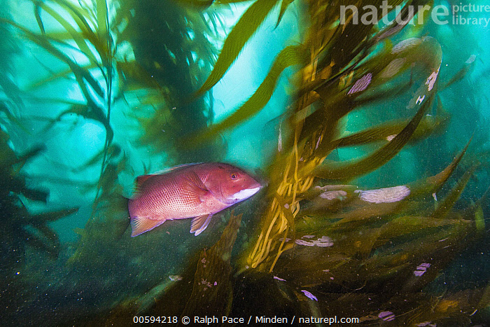 California Sheephead (Semicossyphus pulcher) female in kelp forest, San Diego, California, Adult, Animal in Habitat, California, California Sheephead, Color Image, Day, Female, Full Length, Horizontal, Kelp Forest, Nobody, One Animal, Outdoors, Photography, San Diego, Semicossyphus pulcher, Side View, Threatened Species, Underwater, Vulnerable Species, Wildlife, Ralph Pace