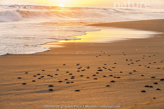 Olive Ridley Sea Turtle (Lepidochelys olivacea) hatchlings going to sea after being released, Oaxaca, Mexico, Baby, Beach, Beginning, Color Image, Conservation, Day, Full Length, Hatchling, Horizontal, Large Group of Animals, Lepidochelys olivacea, Mexico, Nobody, Oaxaca, Olive Ridley Sea Turtle, Outdoors, Photography, Releasing, Side View, Sun, Sunrise, Sunset, Threatened Species, Vulnerable Species, Wildlife, Ralph Pace