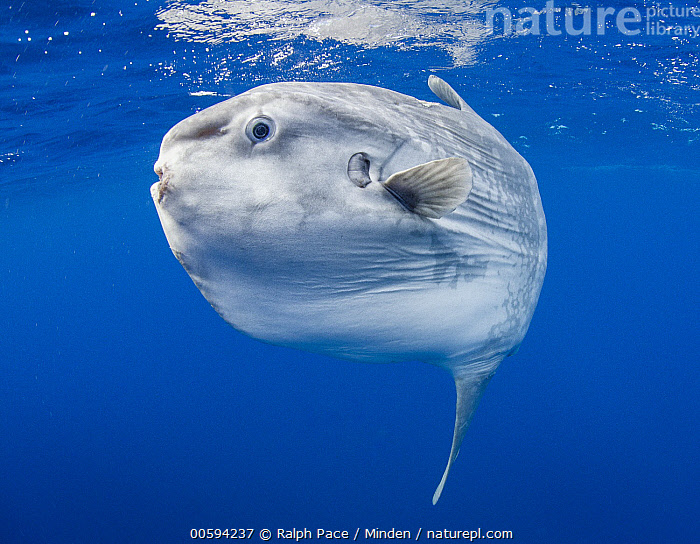 Ocean Sunfish (Mola mola), San Diego, California, Adult, California, Color Image, Day, Full Length, Horizontal, Mola mola, Nobody, Ocean Sunfish, One Animal, Outdoors, Photography, San Diego, Side View, Underwater, Wildlife, Ralph Pace