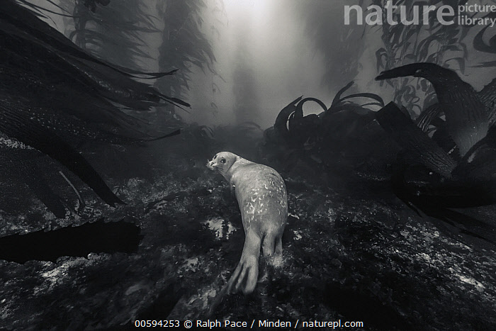 Harbor Seal (Phoca vitulina) in kelp forest, San Diego, California, Adult, Animal in Habitat, Black And White, California, Day, Full Length, Harbor Seal, Horizontal, Kelp Forest, Looking at Camera, Looking Back, Marine Mammal, Nobody, One Animal, Outdoors, Phoca vitulina, Photography, Rear View, San Diego, Underwater, Wildlife, Ralph Pace