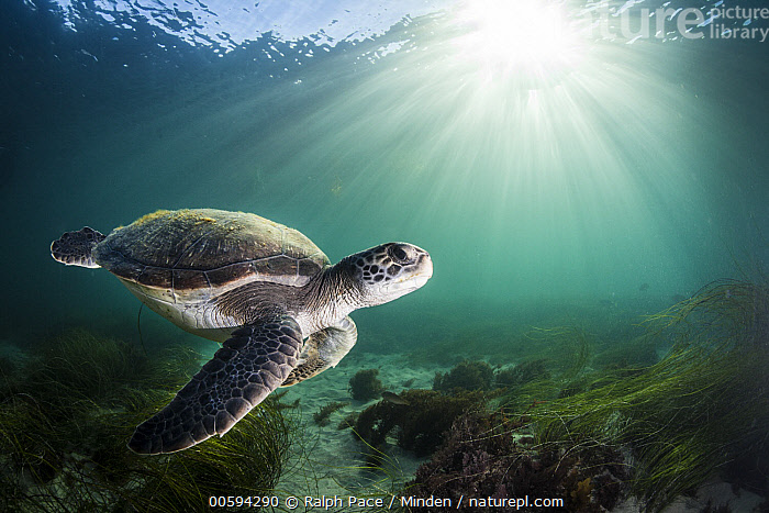 Green Sea Turtle (Chelonia mydas), San Diego, California, Adult, Backlighting, California, Chelonia mydas, Color Image, Day, Endangered Species, Full Length, Green Sea Turtle, Horizontal, Nobody, One Animal, Outdoors, Photography, San Diego, Side View, Sunray, Underwater, Wildlife, Ralph Pace