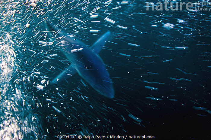 Blue Shark (Prionace glauca), San Diego, California, Adult, Blue Shark, Bubble, California, Color Image, Day, Full Length, Horizontal, Nobody, One Animal, Outdoors, Photography, Prionace glauca, San Diego, Top View, Underwater, Wildlife, Ralph Pace