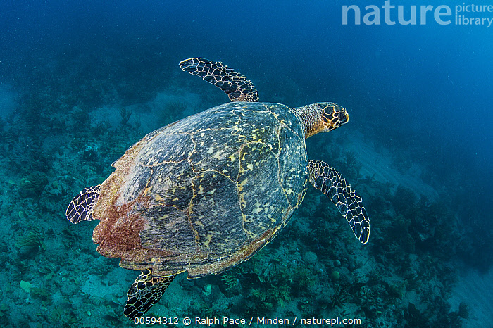 Hawksbill Sea Turtle (Eretmochelys imbricata), Caribbean, Adult, Caribbean, Color Image, Critically Endangered Species, Day, Endangered Species, Eretmochelys imbricata, Full Length, Hawksbill Sea Turtle, High Angle View, Horizontal, Nobody, One Animal, Outdoors, Photography, Side View, Underwater, Wildlife, Ralph Pace