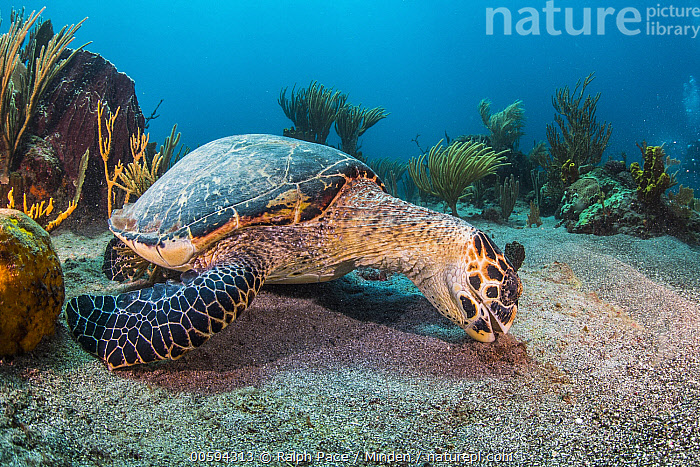 Hawksbill Sea Turtle (Eretmochelys imbricata) feeding on algae, Caribbean, Adult, Caribbean, Color Image, Critically Endangered Species, Day, Endangered Species, Eretmochelys imbricata, Feeding, Full Length, Hawksbill Sea Turtle, Horizontal, Nobody, One Animal, Outdoors, Photography, Side View, Underwater, Wildlife, Ralph Pace