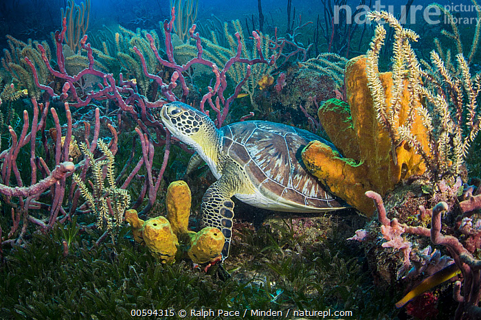 Green Sea Turtle (Chelonia mydas) in reef, Caribbean, Adult, Animal in Habitat, Caribbean, Chelonia mydas, Color Image, Day, Endangered Species, Full Length, Green Sea Turtle, Horizontal, Nobody, One Animal, Outdoors, Photography, Reef, Side View, Underwater, Wildlife, Ralph Pace