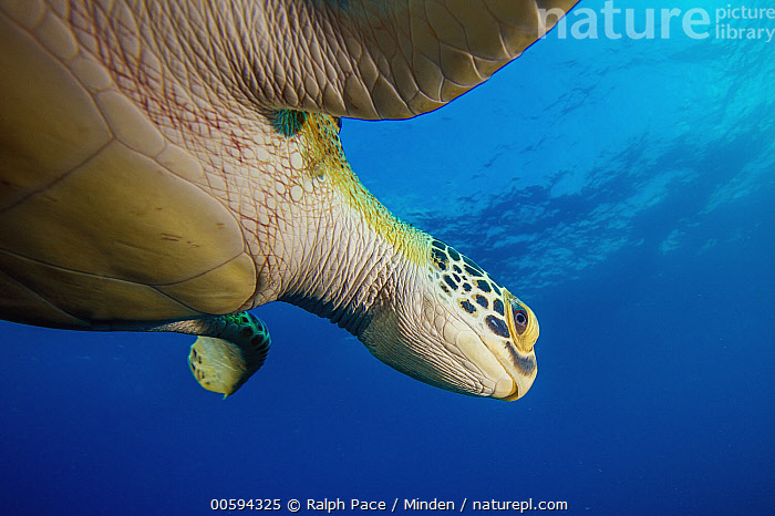 Green Sea Turtle (Chelonia mydas), Caribbean, Adult, Caribbean, Chelonia mydas, Color Image, Day, Endangered Species, Green Sea Turtle, Horizontal, Low Angle View, Nobody, One Animal, Outdoors, Photography, Side View, Underwater, Waist Up, Wildlife, Ralph Pace