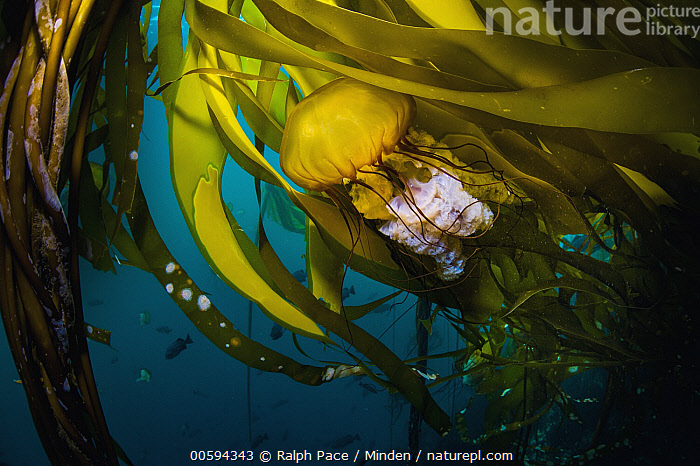 Pacific Sea Nettle (Chrysaora fuscescens) jellyfish in kelp, Monterey Bay, California, Adult, California, Chrysaora fuscescens, Color Image, Day, Full Length, Horizontal, Jellyfish, Kelp, Large Group of Animals, Monterey Bay, Nobody, Outdoors, Pacific Sea Nettle, Photography, Side View, Underwater, Wildlife, Ralph Pace