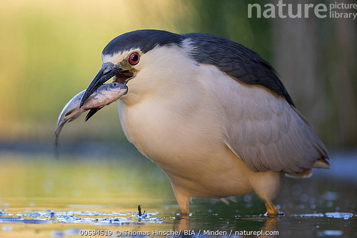 Black-crowned Night Heron (Nycticorax nycticorax) with fish prey, Hungary, Adult, Black-crowned Night Heron, Carrying, Color Image, Day, Fish, Full Length, Horizontal, Hungary, Nobody, Nycticorax nycticorax, One Animal, Outdoors, Photography, Predator, Prey, Side View, Wading Bird, Wildlife, Thomas Hinsche/ BIA