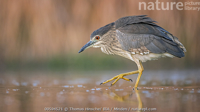 Black-crowned Night Heron (Nycticorax nycticorax) juvenile foraging, Hungary, Black-crowned Night Heron, Color Image, Day, Foraging, Full Length, Horizontal, Hungary, Juvenile, Nobody, Nycticorax nycticorax, One Animal, Outdoors, Photography, Side View, Wading Bird, Wildlife, Thomas Hinsche/ BIA