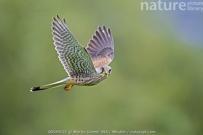 Eurasian Kestrel (Falco tinnunculus) male flying, Baden-Wurttemberg, Germany  ,  Adult, Baden-Wurttemberg, Color Image, Day, Eurasian Kestrel, Falco tinnunculus, Flying, Full Length, Germany, Horizontal, Looking at Camera, Male, Nobody, One Animal, Outdoors, Photography, Raptor, Side View, Wildlife  ,  Martin Grimm/ BIA