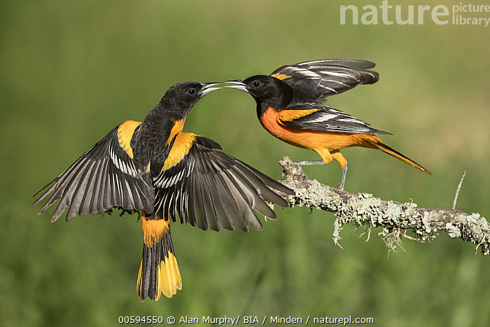 Baltimore Oriole (Icterus galbula) males fighting, Texas  ,  Adult, Baltimore Oriole, Color Image, Competition, Day, Fighting, Full Length, Horizontal, Icterus galbula, Male, Nobody, Outdoors, Photography, Side View, Songbird, Spreading Wings, Territorial, Texas, Two Animals, Wildlife  ,  Alan Murphy/ BIA