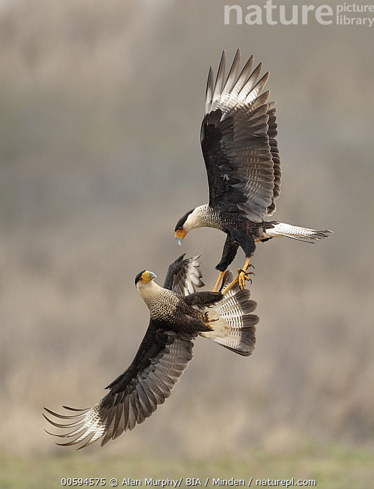 Northern Caracara (Caracara cheriway) pair fighting, Texas  ,  Adult, Caracara cheriway, Color Image, Competition, Day, Fighting, Flying, Full Length, Nobody, Northern Caracara, Outdoors, Photography, Raptor, Side View, Texas, Two Animals, Vertical, Wildlife  ,  Alan Murphy/ BIA