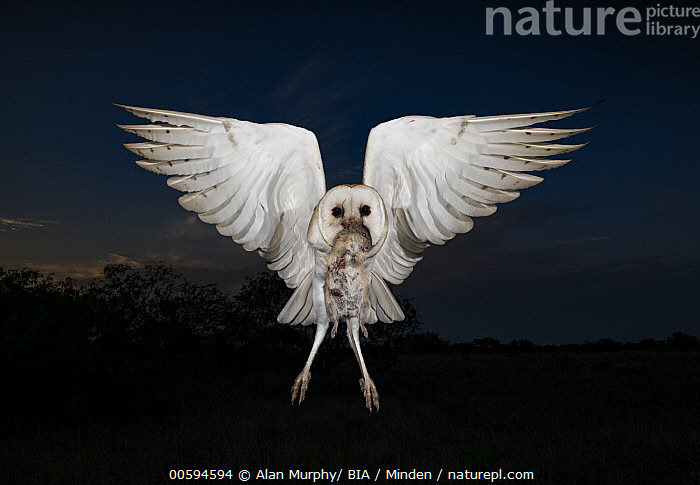 Barn Owl (Tyto alba) flying with rodent prey, Texas, Adult, Approaching, Barn Owl, Carrying, Color Image, Day, Flying, Front View, Full Length, Horizontal, Looking at Camera, Night, Nobody, One Animal, Outdoors, Photography, Predator, Prey, Raptor, Rodent, Texas, Tyto alba, Wildlife, Alan Murphy/ BIA